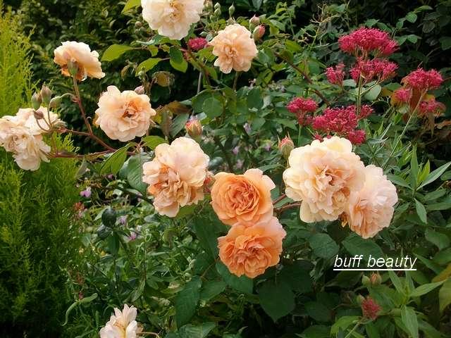 Rosa 'Buff Beauty' !!! - Page 5 Aout_094