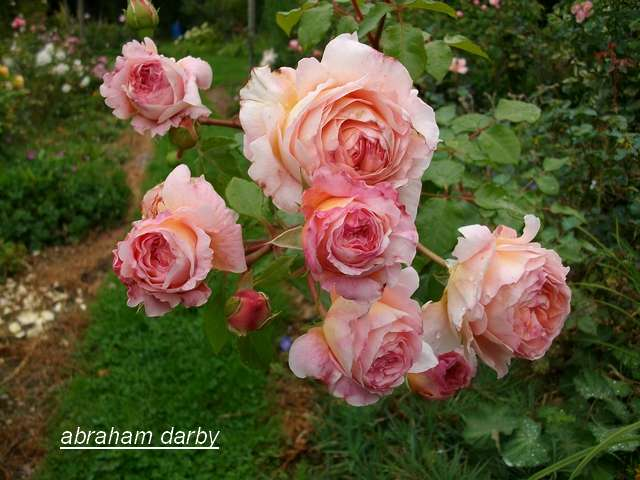 'Abraham Darby' !!! - Page 2 Aout_111