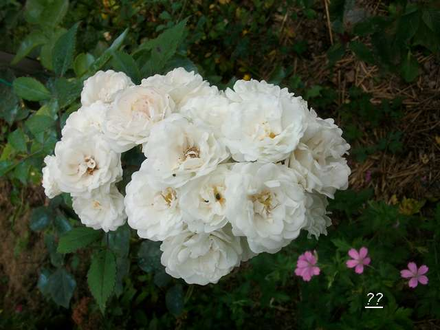 Rosa 'Little White Pet' !!! - Page 2 Faux_l10