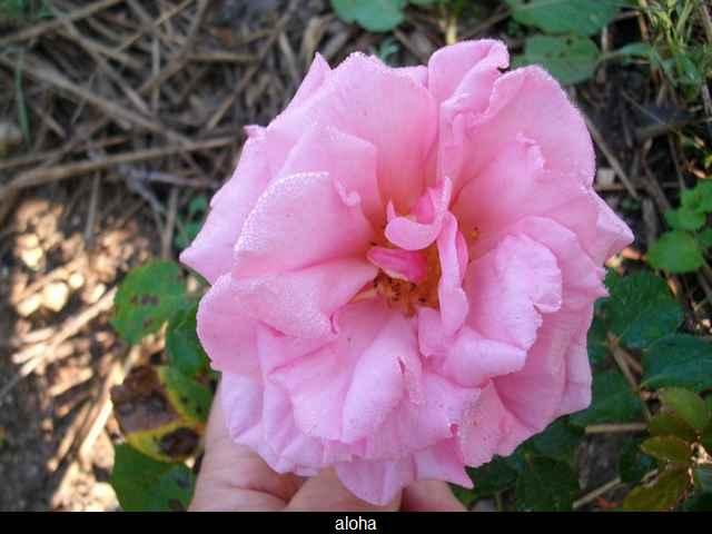 Rosa 'Aloha' !!! Imgp0019