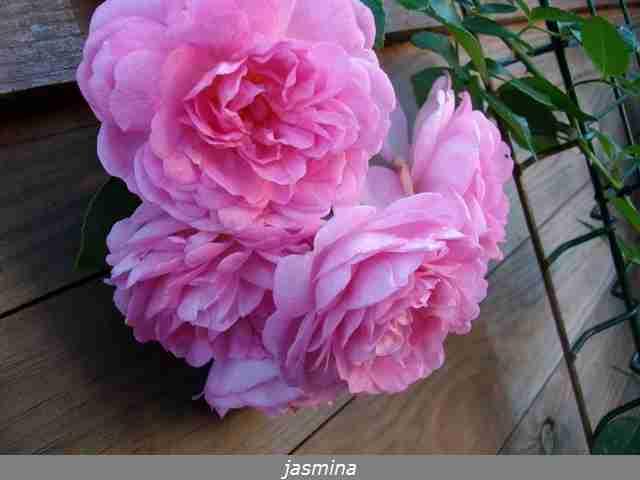 Rosa Jasmina  - Page 2 Imgp0106