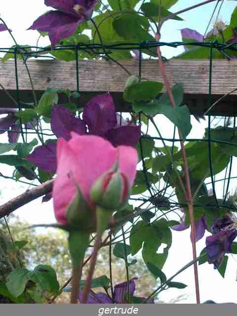 Rosa 'Gertrude Jekyll'  !!! Imgp0117
