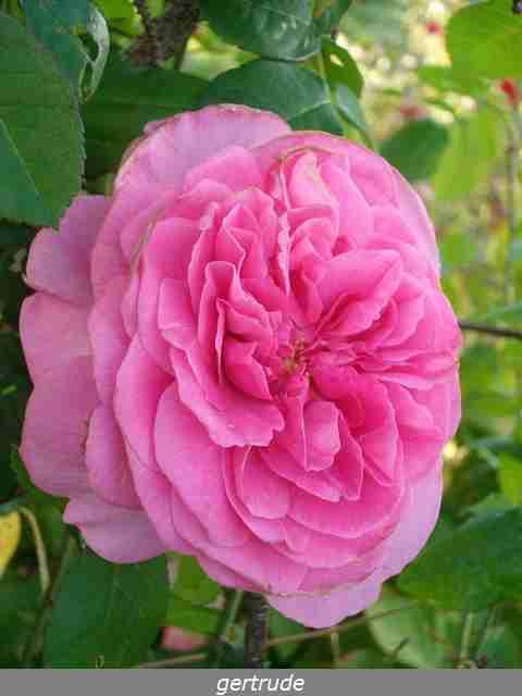 Rosa 'Gertrude Jekyll'  !!! Imgp0118