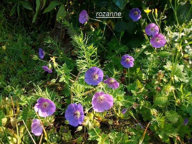 geranium vivace - Page 9 Juill119