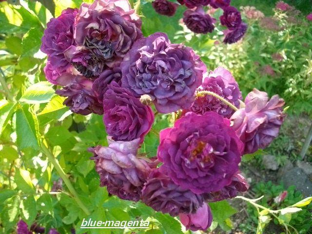 Rosa 'Blue Magenta'  - Page 3 Juille10