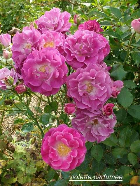 Rosa 'Violette Parfumée !!! - Page 3 Juille90