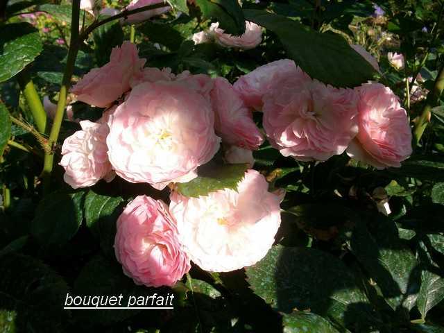 Rosa 'Bouquet Parfait' !!! - Page 5 Juin_018
