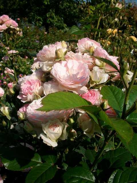 Rosa 'Bouquet Parfait' !!! - Page 5 Juin_019