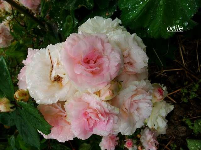 Rosa 'Bouquet Parfait' !!! - Page 6 Juin_031