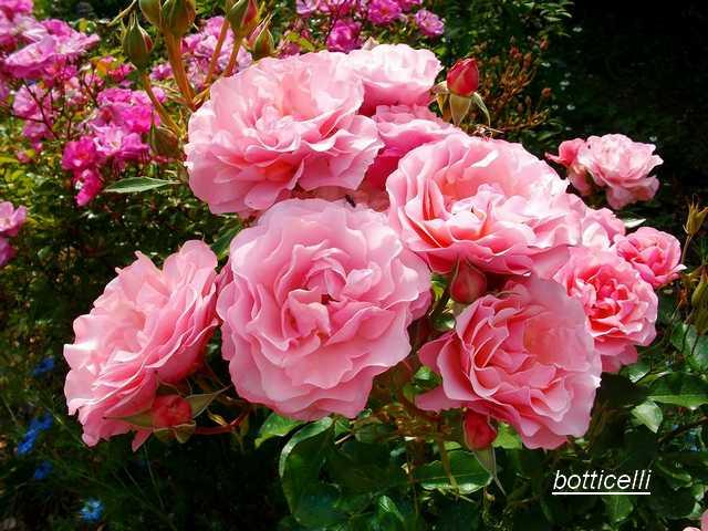 Rosa 'Botticelli' - Page 2 Juin_039