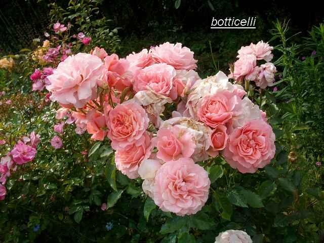Rosa 'Botticelli' - Page 2 Juin_136