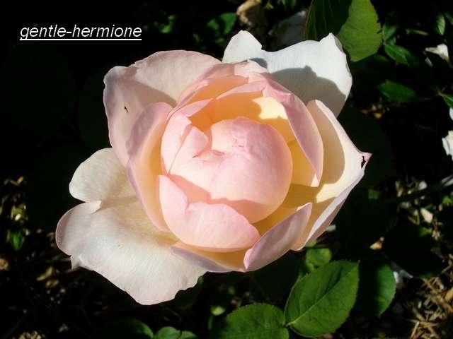 "rosa ""Gentle Hermione"" - Page 3 Juin_156"