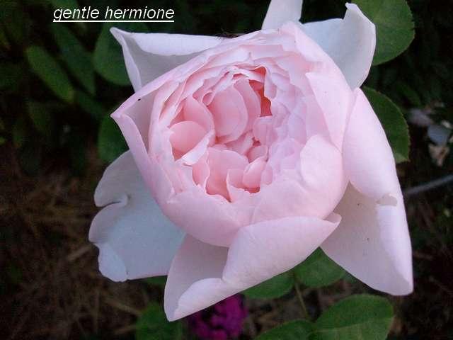 "rosa ""Gentle Hermione"" - Page 3 Juin_157"