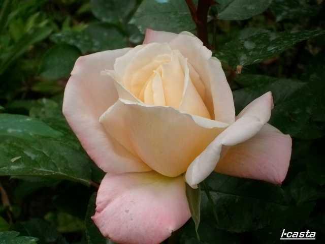 rosae Laéticia Casta - Page 2 Juin_228