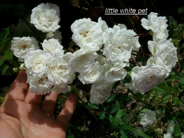 Rosa 'Little White Pet' !!! - Page 2 Little10