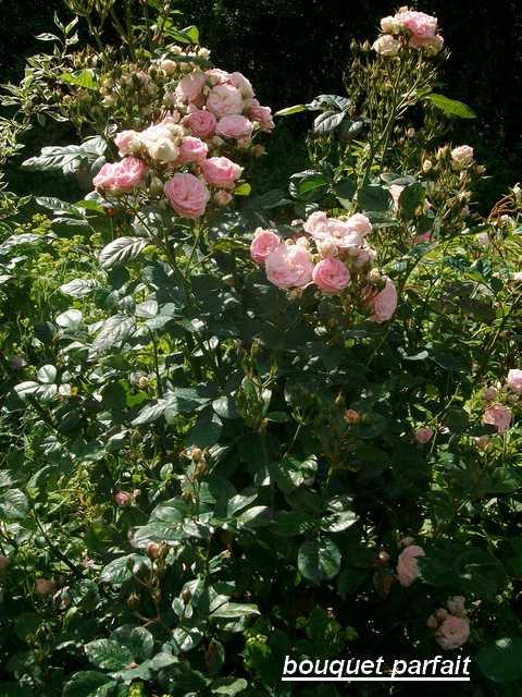 Rosa 'Bouquet Parfait' !!! - Page 5 Mai_0113