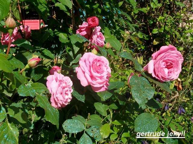 Rosa 'Gertrude Jekyll'  !!! Mai_0114