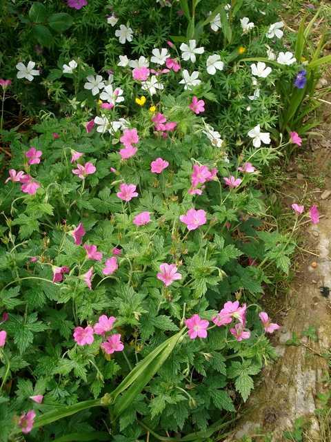 geranium vivace - Page 7 Mai_0212
