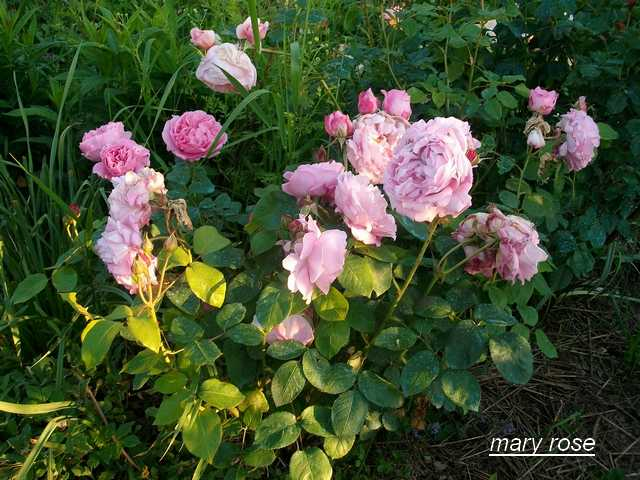 Rosa Mary Rose  - Page 2 Mai_0711