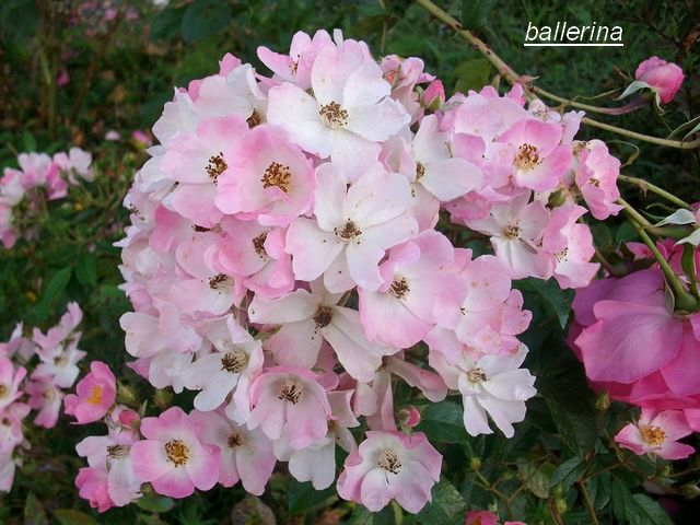 Rosa 'Ballerina' !!! - Page 4 Sept_029