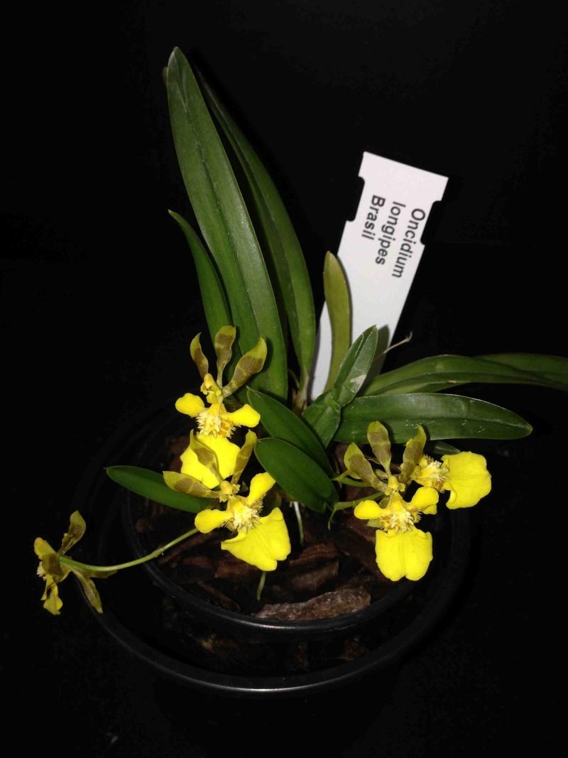 Oncidium longipes Img_3013