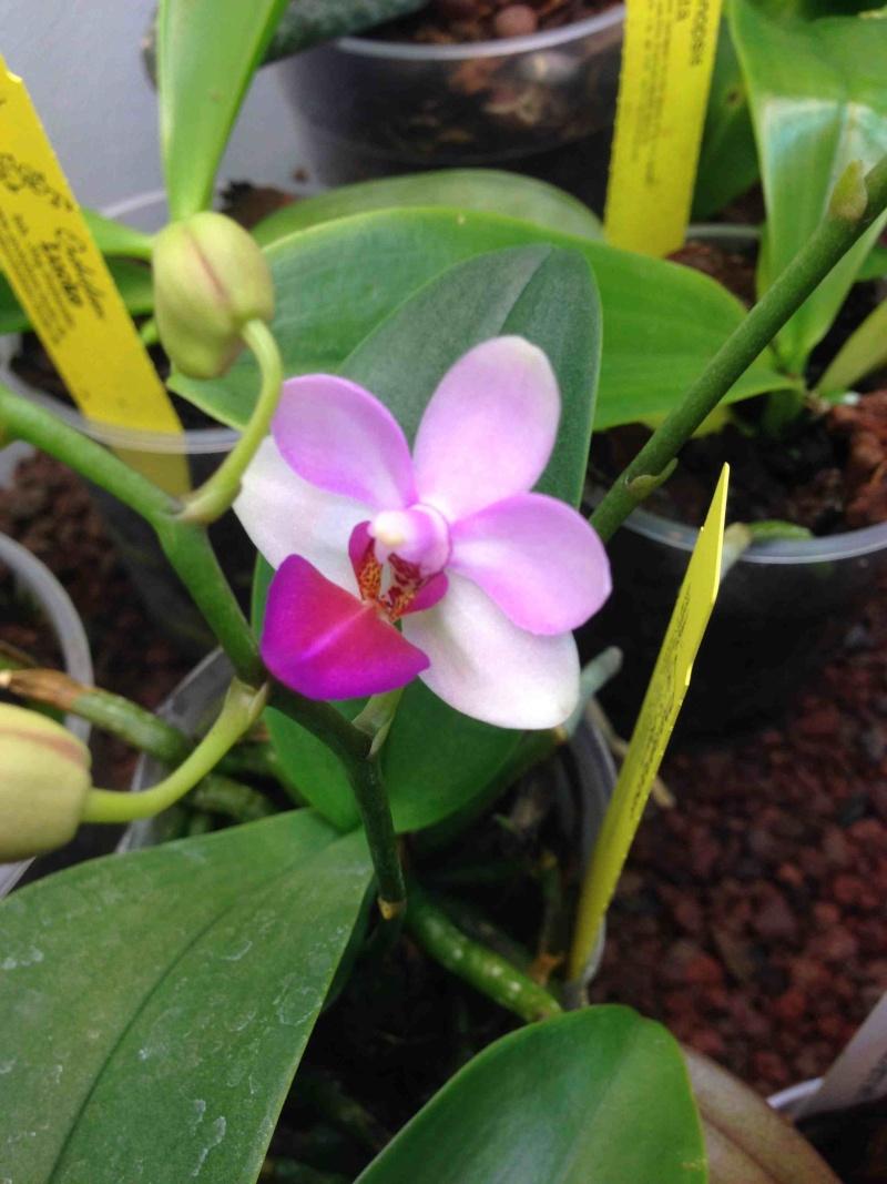 Phalaenopsis Liu's Berry Img_3022