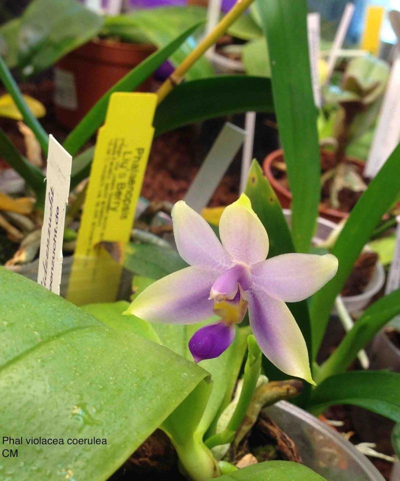 Phal violecea coerulea  Img_3213