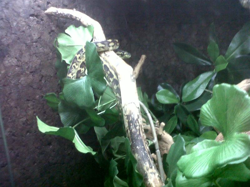Morelia spilota variegata 08_06_10