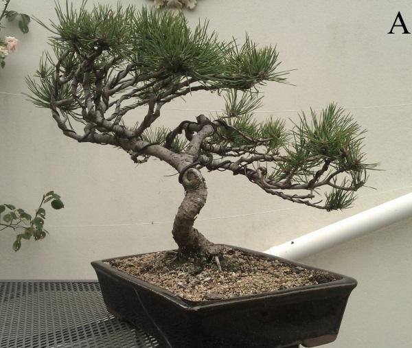 Second serious wiring- Black Pine Bpine_10