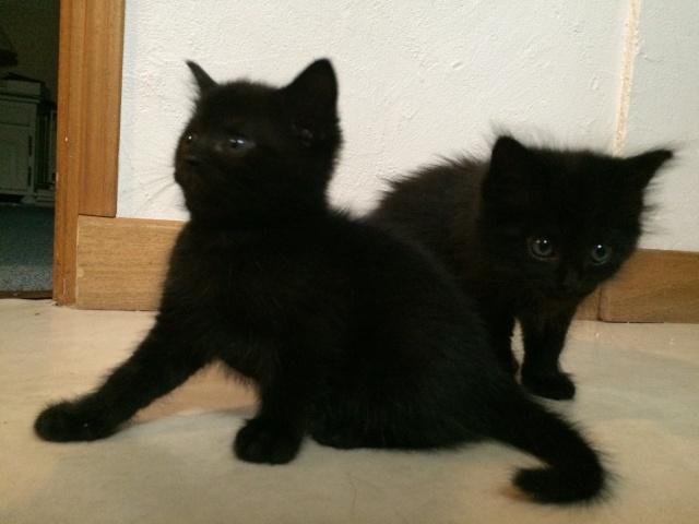 Portée de 4 chatons - Noirs et noir/blanc Img_1110