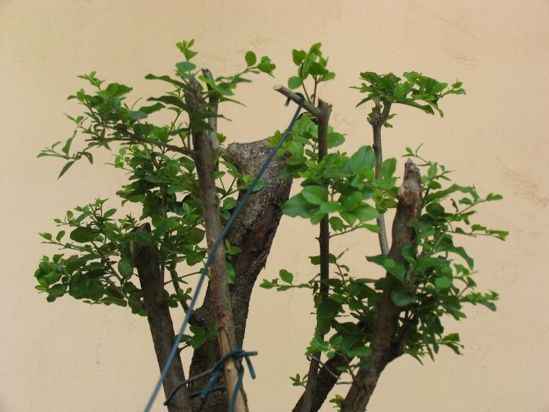 ligustrum vulgare ,materiale per esperti Img_0016