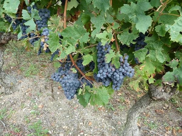 Festi Vini 2014  : Vignes vin et randos dans le 49 01712