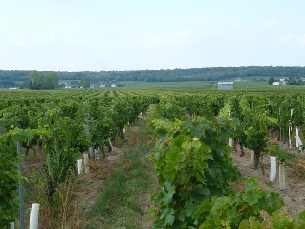Festi Vini 2014  : Vignes vin et randos dans le 49 03911