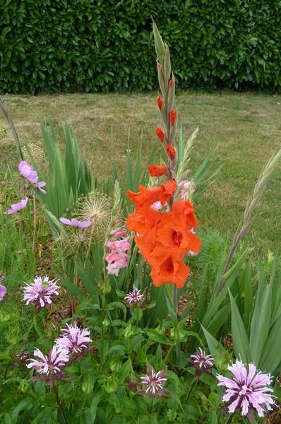 Glaïeul  Gladiolus - Page 2 Glaieu11