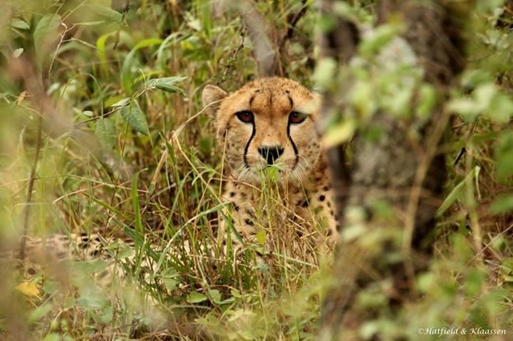 New Cheetah Cubs in the Mara Cheeta11