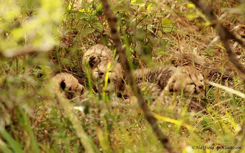 New Cheetah Cubs in the Mara Cheeta12