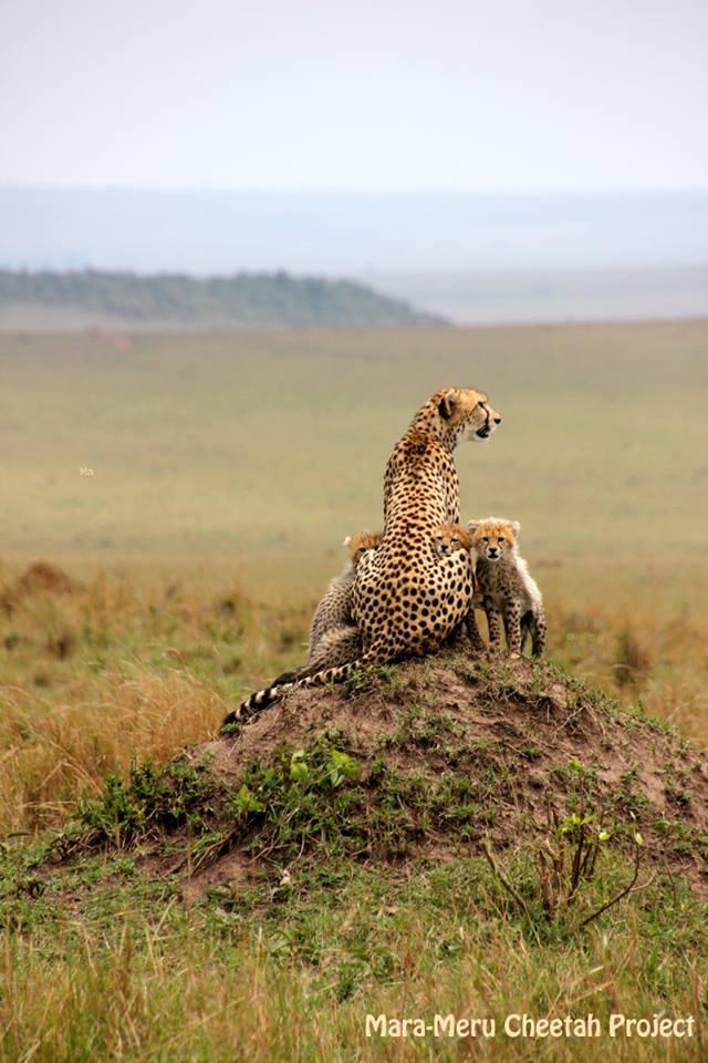 Another Cheetah Mum in the Mara . . . .  Cheeta14
