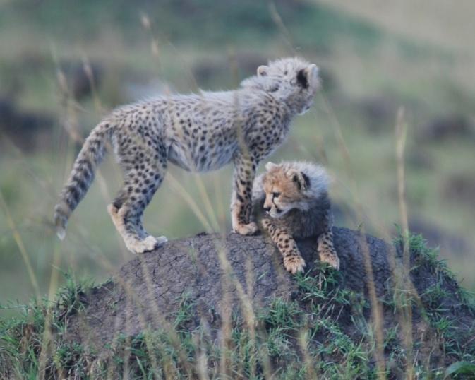 Another Cheetah Mum in the Mara . . . .  Cheeta15