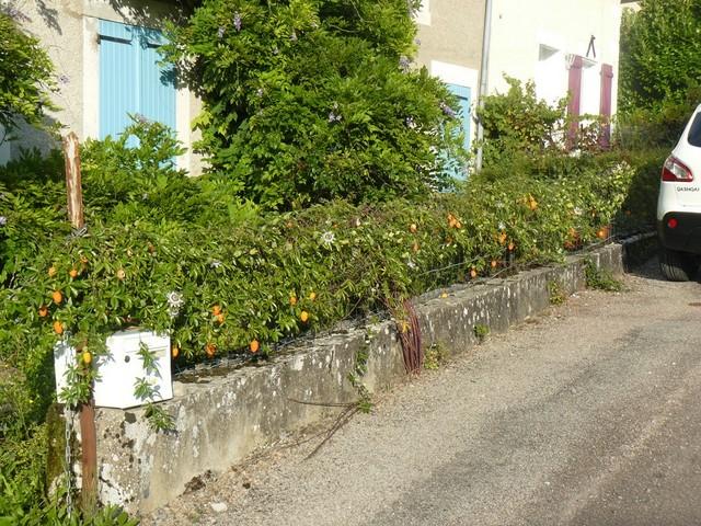 Passiflora caerulea - Page 2 P1120410
