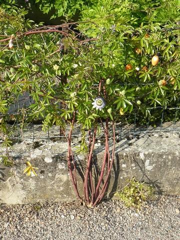 Passiflora caerulea - Page 2 P1120411