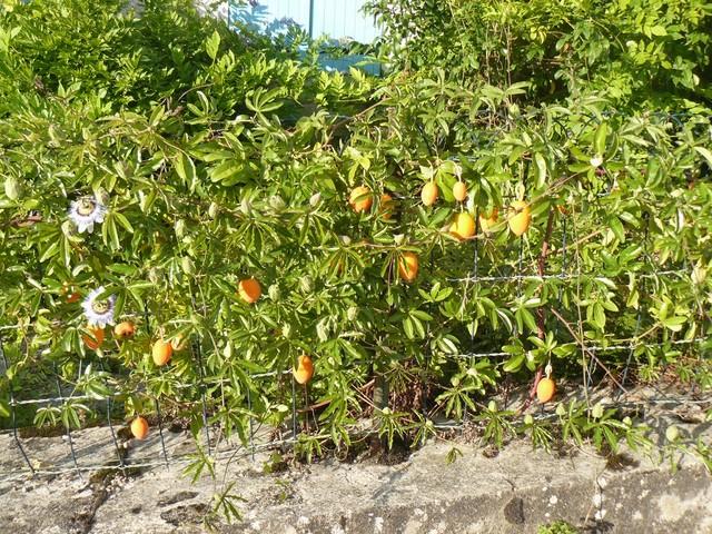 Passiflora caerulea - Page 2 P1120412