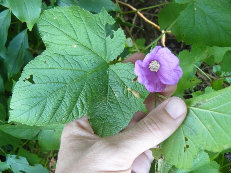 Rubus - le genre - culture, questions... P1120413