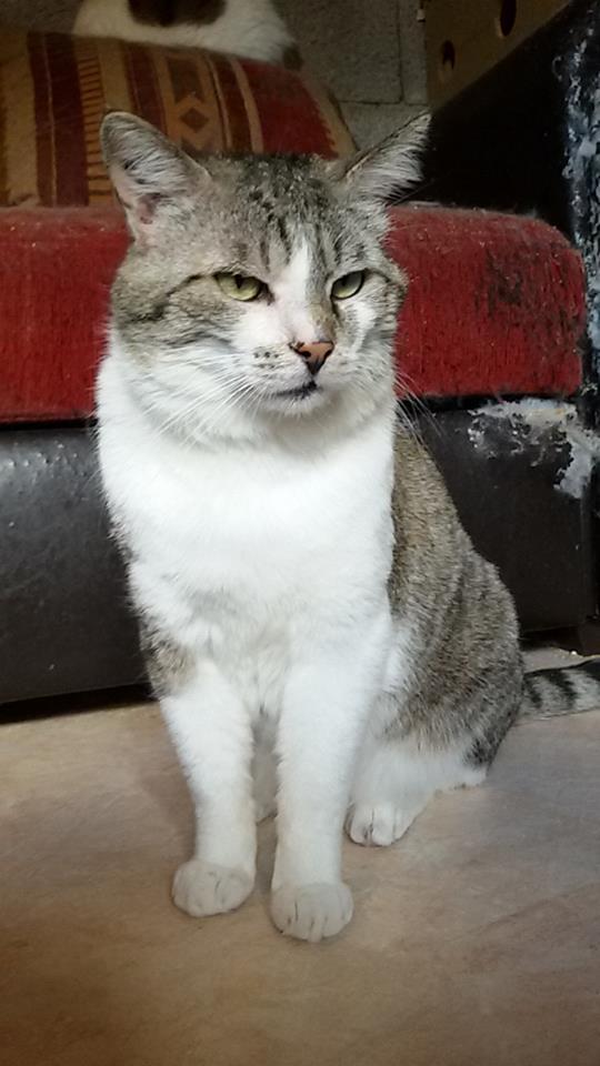 Gaston, mâle, 2011, tabby et blanc 10394510