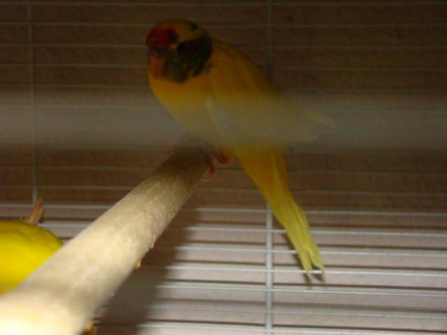 sorti du nid pour 3 plumeux, males ou femelles Dsc03011