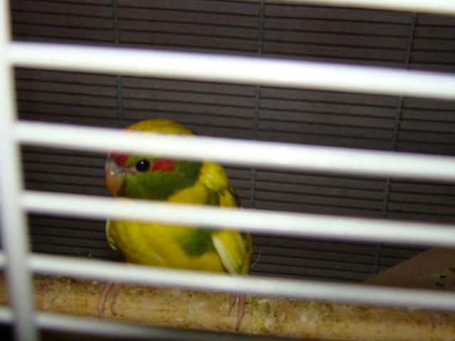 sorti du nid pour 3 plumeux, males ou femelles Dsc03012