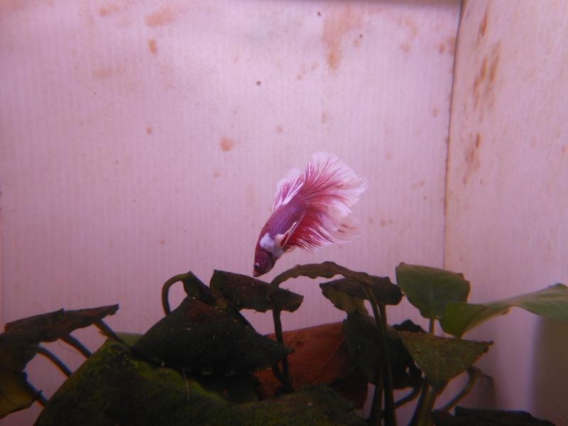 Problème algues dans aquarium compartimenté Bansay11