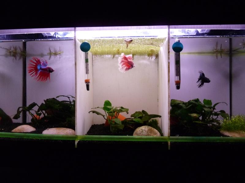 Problème algues dans aquarium compartimenté - Page 2 P1090510