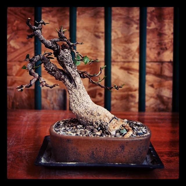 Ficus Retusa from a nursery broom 10154910