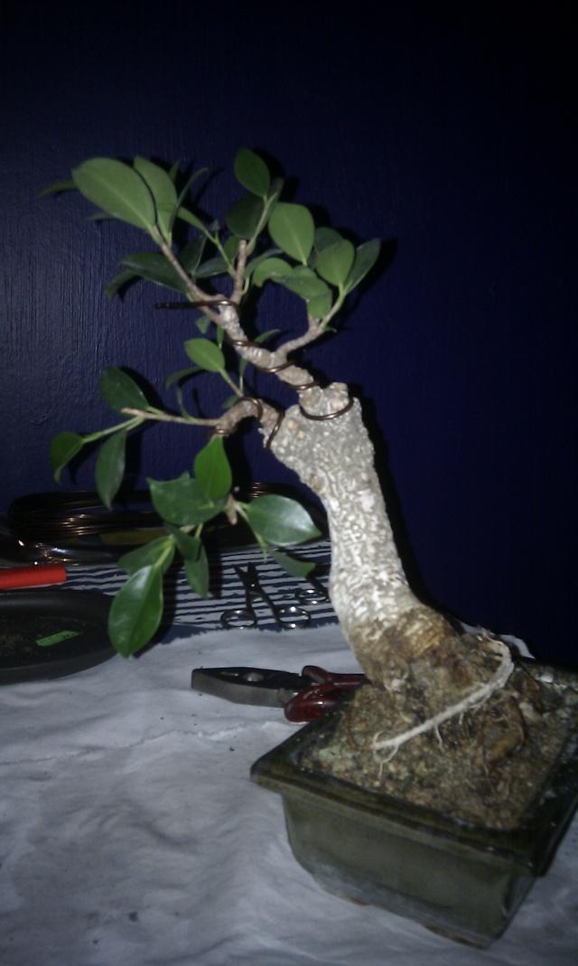 Ficus Retusa from a nursery broom Imag0111