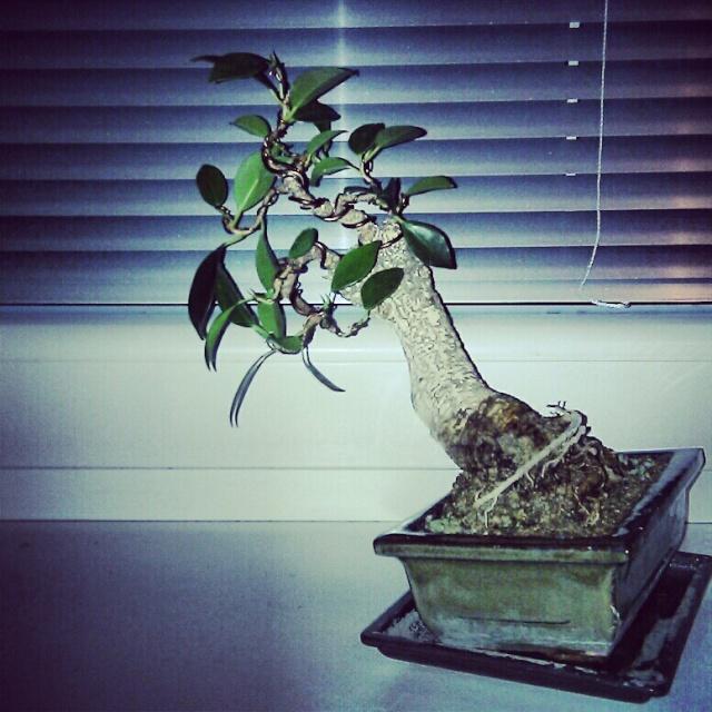 Ficus Retusa from a nursery broom Img_2010